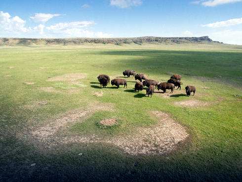 A small band of bull bison roam the Snake Butte Pasture on the Fort Belknap Indian Reservation