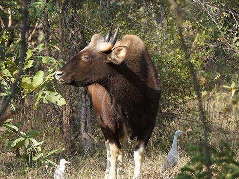 Photo of a gaur, a bovine species of tiger prey in Thailand