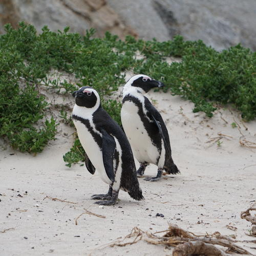 Two African penguins stand on a dune. One faces right, and the other faces left. Vegetation grows behind them.