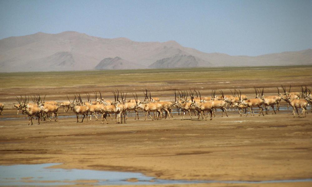 Chiru tibetan antelope 08.15.2012 buyer beware
