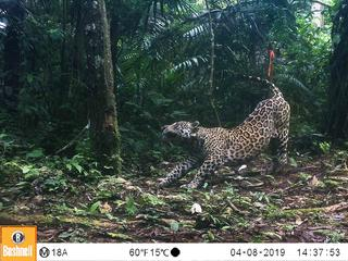 A jaguar stretches in front of a camera trap in the Amazon