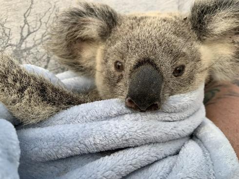 Maryanne the koala cared for in hospital after rescue from Australian wildfires