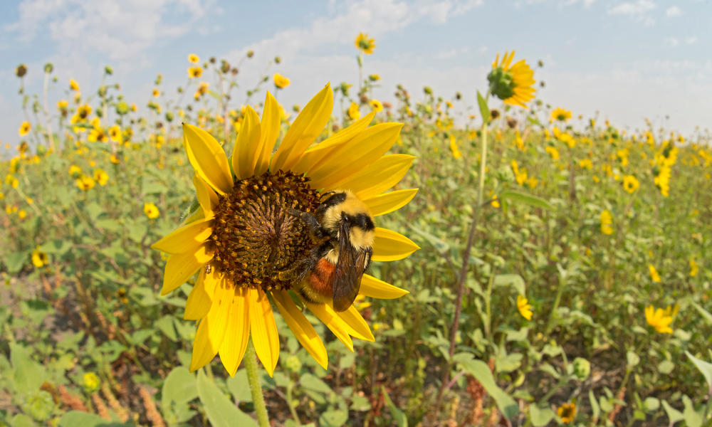 Hunt's Bumble Bee, queen, on native sunflower, Malta, Montana