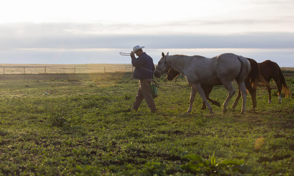 Ryan Sexson, getting the horses ready to move cattle in the Sandhills of Nebraska, United States