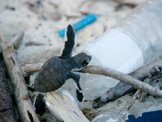 A baby turtle climbs on a plastic bottle on a beach