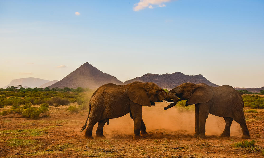 Two bull African elephants spar. They kick up red dust.