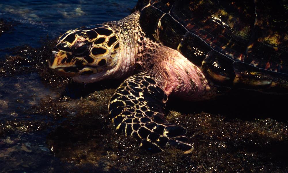 Hawksbill turtle 08.15.2012 buyer beware