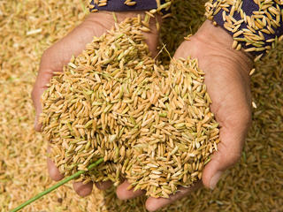 A person displays a handful of newly-threshed rice.