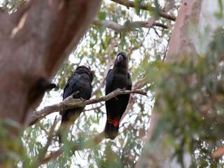 A pair of Kangaroo Island glossy black-cockatoos in unburnt habitat