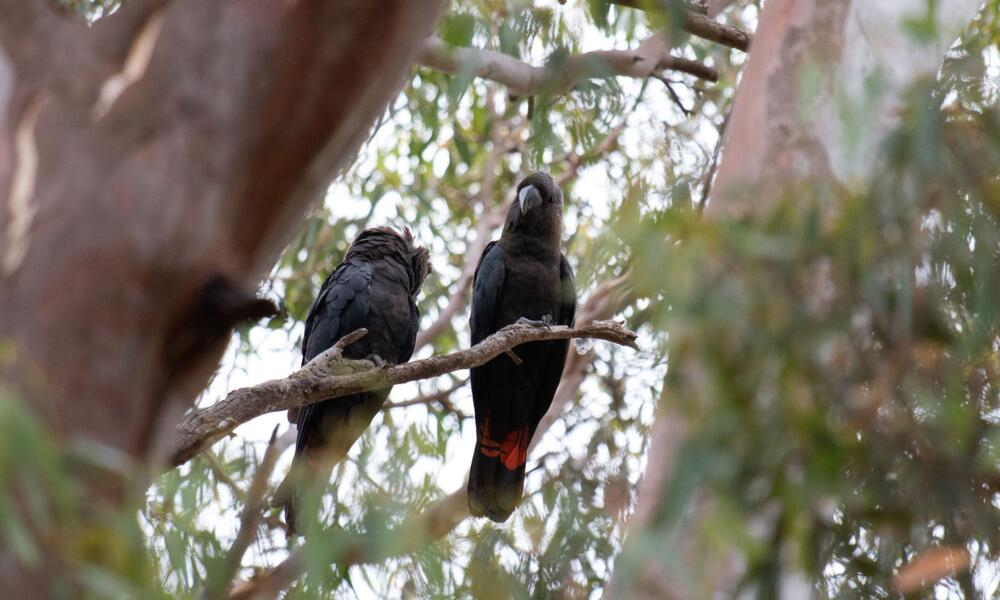 A pair of Kangaroo Island glossy black-cockatoos in unburnt habitat