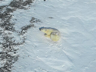 A polar bear cub rests on her mother on a snowy landscape in Russia