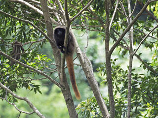 A titi-monkey sitting in a tree