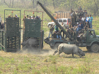 Two rhinos released from large green carriers after being translocated to Manas National Park in India