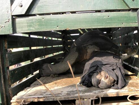 Rhino with its face covered lays down as it is being translocated to another national park in India