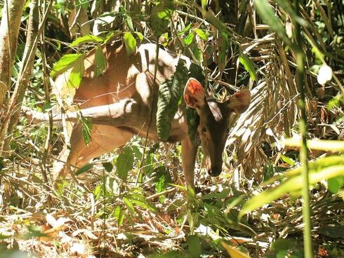 A sambar deer caught in a snare in Malaysia.