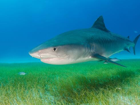 Tiger shark swims over seagrass.