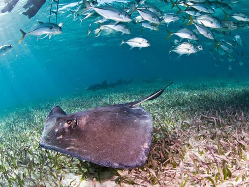 Sting ray and nurse shark swim.