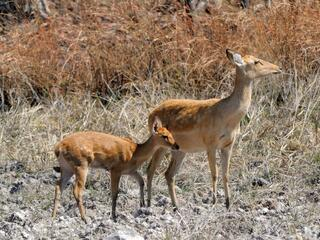 A mother Eld's deer stands with her foal against a tan grassy backdrop in Cambodia