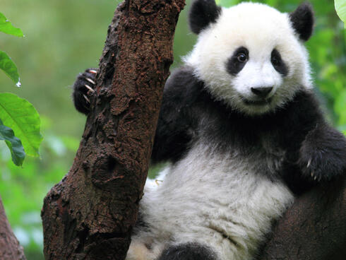 Young panda sits in a tree, holding on to the trunk with its right hand.
