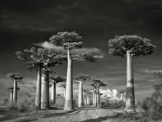 Road passing between baobab trees