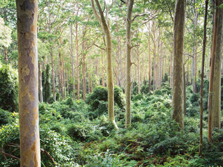 Trees in a eucalyptus forest