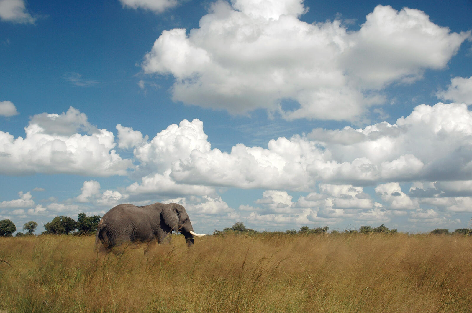 African elephant in tall grass