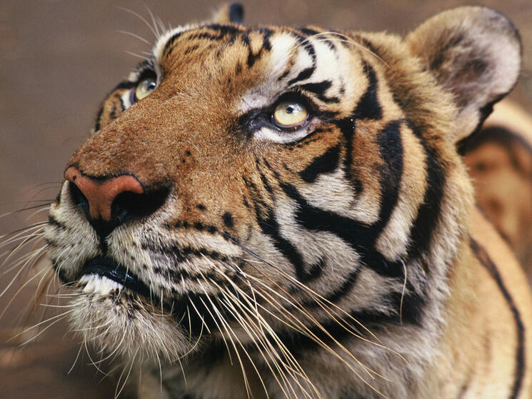 A tiger orphaned by poachers.