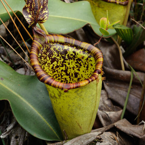 Nepenthes attenboroughii plant