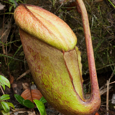 Nepenthes rajah plant