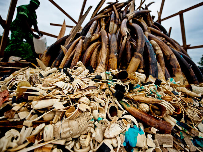 Burning of poached ivory, Gabon