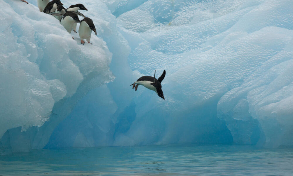 Adelie penguins diving off an iceberg