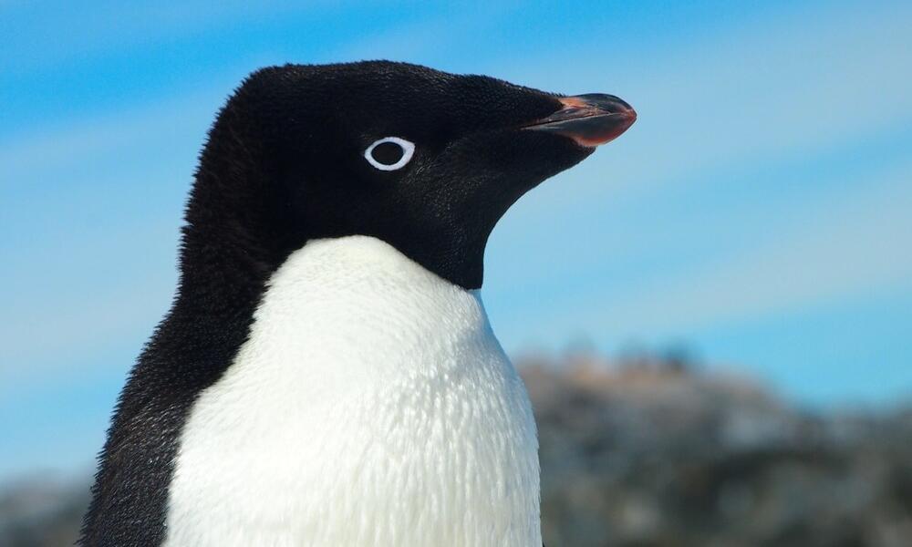 Adélie penguin in Antarctica