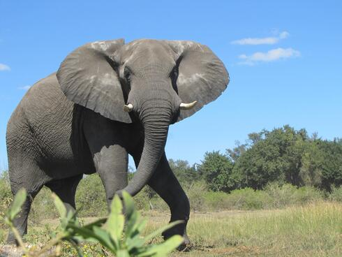 An African elephant looks towards the camera while walking through the savanna under blue skies.