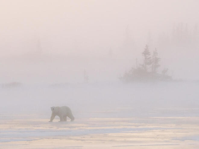 Polar bear walks in fog