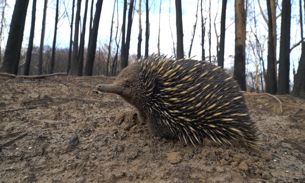 Echidna walks amongst burnt bushland