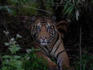 A large tiger lays down in a dark forest and stares into the camera