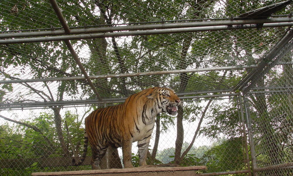 A caged tiger stands on top of structure and is roaring