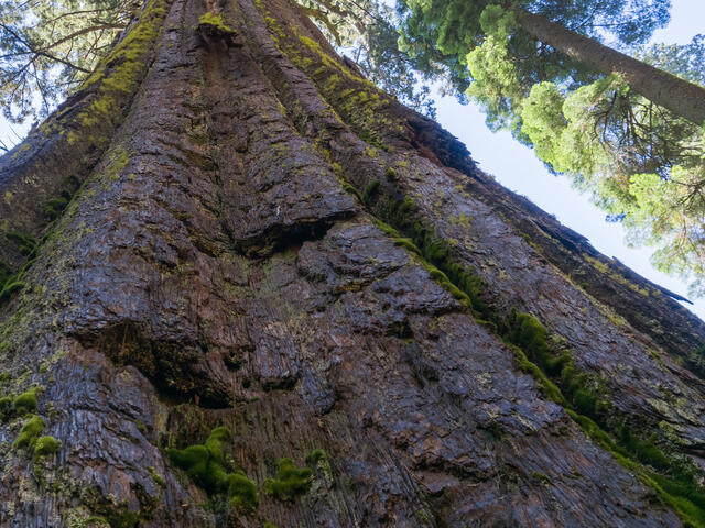Looking up at the canopy and sky from the base of a Sequoia tree in Calaveras Big Trees State Park, California