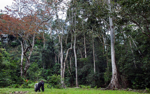 A lone male western lowland gorilla stands against a background of trees