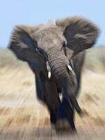 African bull elephant charging at camera