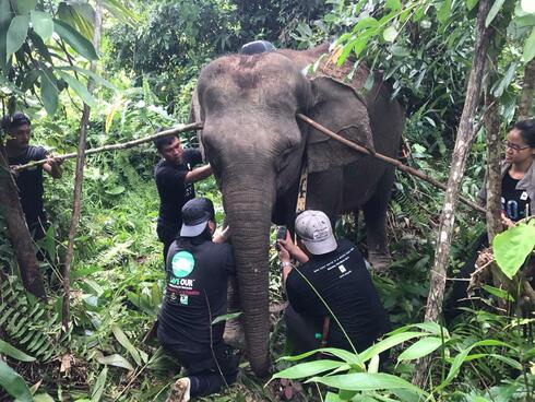 A team of conservationists working together to put a tracking collar safely on an elephant in the Malaysian forest