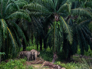 Two elephants emerge from a palm oil plantation