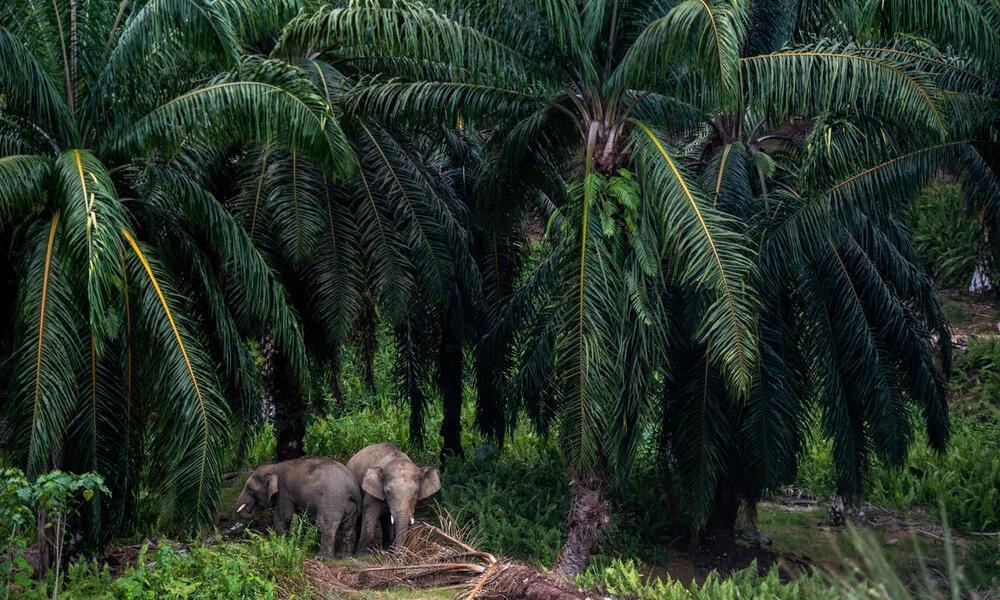 Two elephants emerge from a palm oil plantation