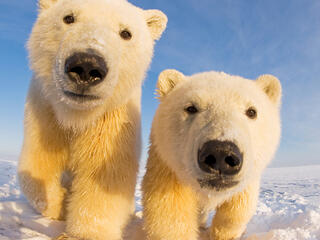Two young polar bears