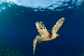 Coral triangle places wwf hawksbill turtle eretmochelys imbricata new britain papua new guinea sciox Images