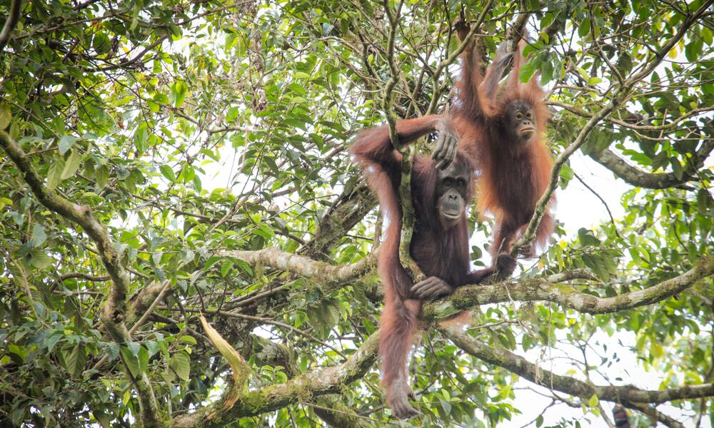 An adult and baby orangutan sit in the tree tops