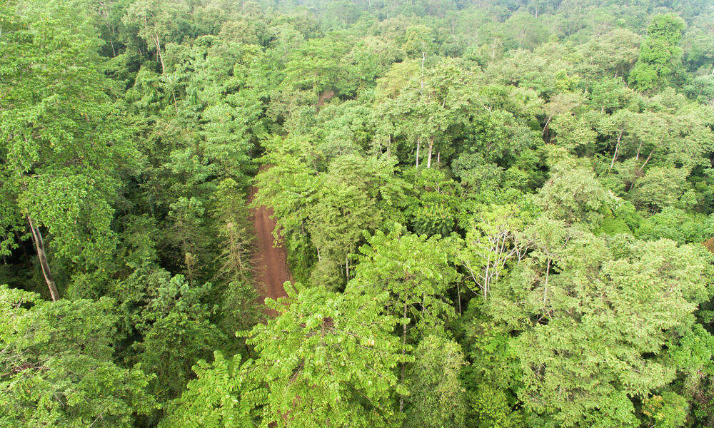 Aerial view of lush regenerated forest in Borneo