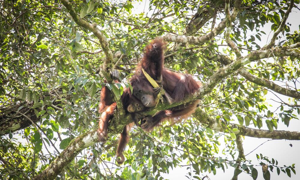 An adult Bornean orangutan sits in the treetops with a baby orangutan