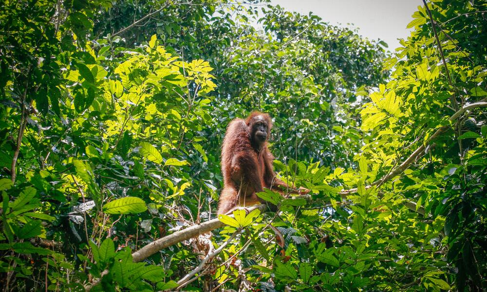 A large adult Bornean orangutan stands on a tree branch in front of a forest background and looks at the camera