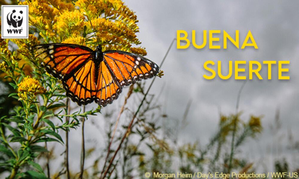 Monarch butterfly ecard in Spanish